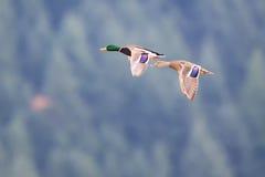 Eagle chauve montant près de Harrison British Columbia photo stock