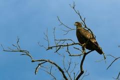 Eagle chauve non mûr images libres de droits