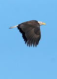Eagle chauve non mûr - leucocephalus de Haliaeetus photos stock