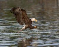 Eagle chauve préparant pour saisir un poisson photos libres de droits