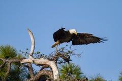 Eagle chauve réarrangeant sa position Image stock