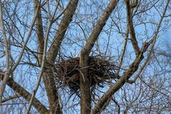 Eagle chauve réclamant son compagnon de leur nid images stock