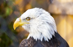 Eagle chauve regardant au profil gauche et parfait du visage plumeux et images stock