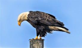 Eagle chauve am?ricain ?t? perch? photos stock