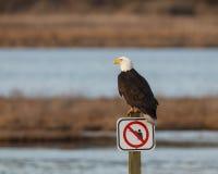Eagle chauve sur le poteau indicateur Images libres de droits