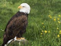 Eagle chauve sur un tronc Photo libre de droits