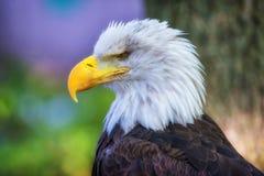 Eagle chauve, vue de côté en gros plan photographie stock libre de droits
