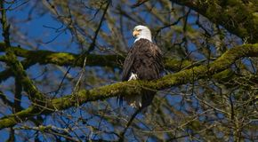 Eagle chauve, Washington State Photographie stock