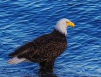 Eagle chauve, Washington State Image stock