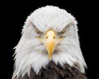 Eagle chauve X photos stock