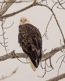 Eagle che abbaglia direttamente me fotografie stock