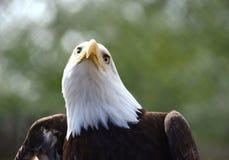 Eagle che cerca preda Fotografia Stock