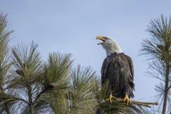 Eagle che chiama a altro immagini stock libere da diritti