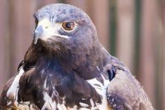 Eagle chiazzato Immagine Stock Libera da Diritti