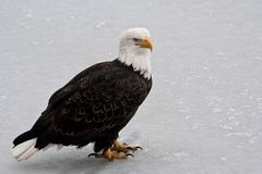 Eagle on Chugach River Ice, Alaska Royalty Free Stock Photography