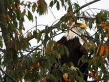 Eagle chuje w drzewnym dopatrywaniu dla zdobycza obrazy royalty free