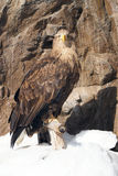 Eagle at the cliff. White Tailed eagle stand at the cliff Stock Photo