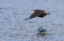 Eagle close to water. Royalty Free Stock Photo