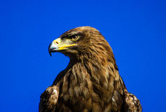 Eagle. Close-up of a golden eagle Stock Photography