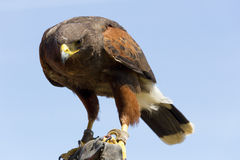 Eagle in close up Royalty Free Stock Photo
