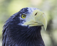 Eagle. Close-up head shot yellow eyes and beak Stock Photography