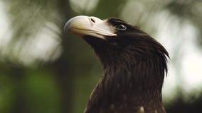 Eagle Close Up no jardim zoológico video estoque