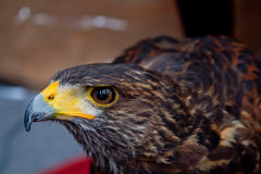 Eagle Close Up Portrait Arkivbild