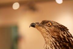 Eagle close-up portrait Aquila chrysaetos Stock Image