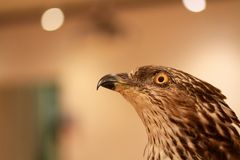 Eagle close-up portrait Aquila chrysaetos Stock Image