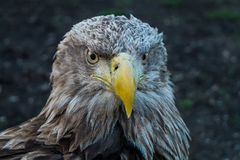 Eagle Close Up Portrait. With natural light stock images