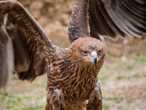Eagle close up portrait. Showing its wings Royalty Free Stock Images