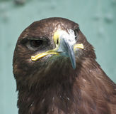 Eagle close-up. An eagle is watching youn stock images