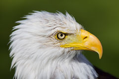Eagle closeup Royalty Free Stock Photo