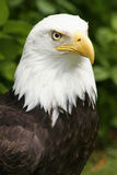 Eagle Closeup Stock Photography