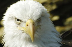 Eagle closeup. Closeup of Majestic Eagle Stock Image