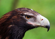 Eagle Closeup Cale-coupé la queue Photo stock