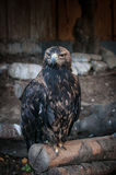 Eagle closeup. wildlife, bird, eagle, nature Royalty Free Stock Photos