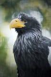 Eagle closeupstående Arkivbilder