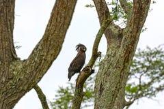 Eagle com crista longo no savana Fotos de Stock Royalty Free
