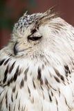 Eagle con i grandi occhi Fotografia Stock Libera da Diritti