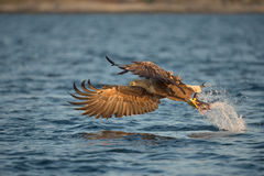 Eagle con il fermo Immagine Stock