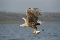 Eagle con la preda Fotografie Stock Libere da Diritti