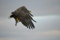 Eagle con la presa Foto de archivo libre de regalías