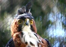 Eagle con le piume cape Fotografia Stock Libera da Diritti