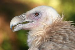 Eagle condor Stock Photography