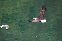 Eagle contro il gabbiano Fotografia Stock