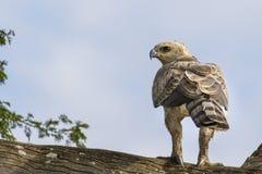 Eagle coronado joven foto de archivo libre de regalías