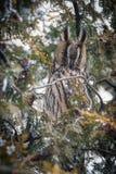 Eagle-coruja Fotografia de Stock