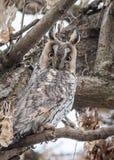 Eagle-coruja Imagens de Stock Royalty Free