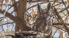Eagle-coruja cinzenta no ramo de ?rvore seco fotos de stock royalty free